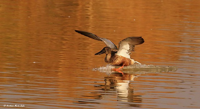 Northern shoveler is landing...