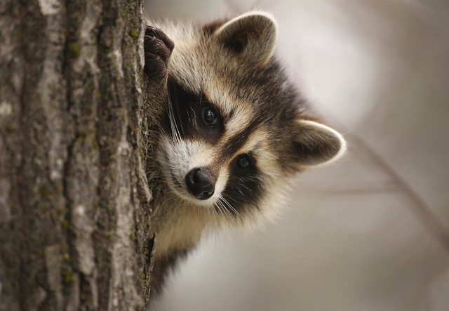 Young raccoon playing peekaboo