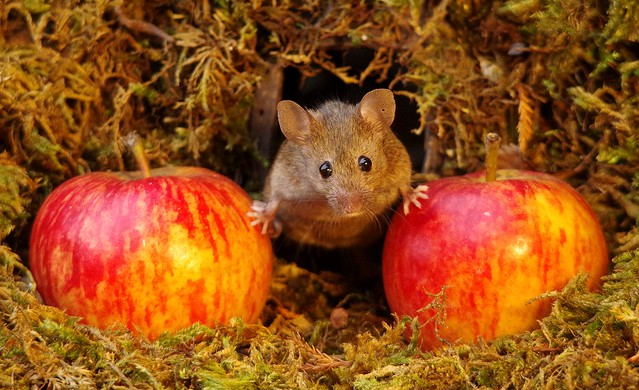 wild house mouse with apples  18 oct  (8)