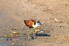 Young African Jacana, Look at those feet! by sharon.verkuilen