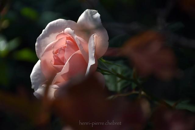 La rose n'a d'épines que pour celui qui veut la cueillir