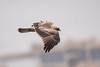 Booted Eagle by Josh13770