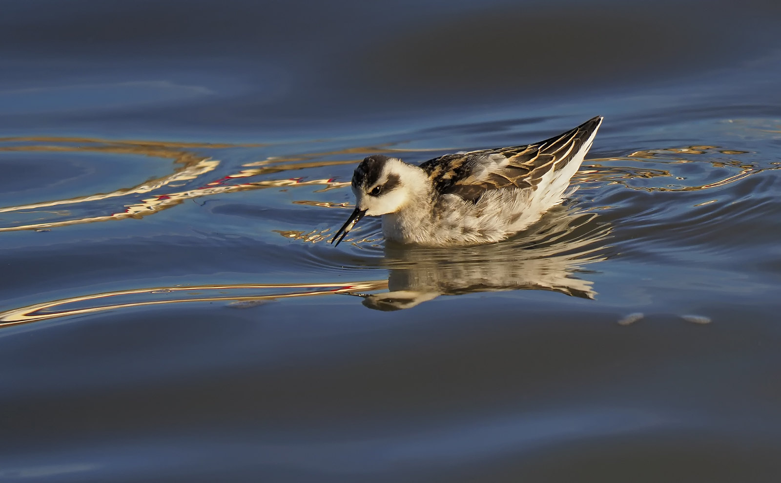 Red-necked Phalarope - Bridlington
