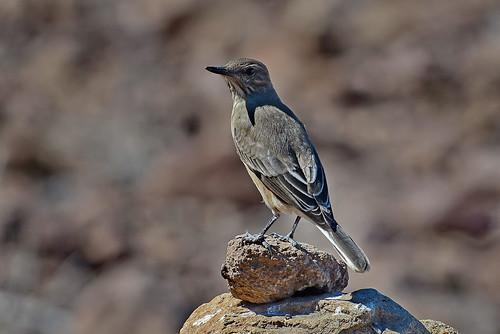 Серобрюхий сорокопутовый тиранн, Agriornis micropterus andecola, Grey-bellied Shrike-Tyrant | by Oleg Nomad