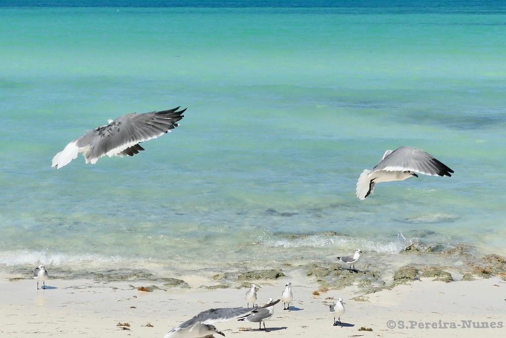 Seagulls training    in Flamenco Beach, Cayo Coco, Cuba | Flickr