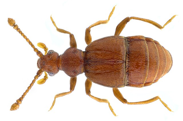 Reichenbachia juncorum (Leach, 1817)
