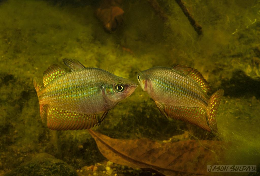 Eastern Rainbowfish (Melanotaenia splendida splendida) Bog