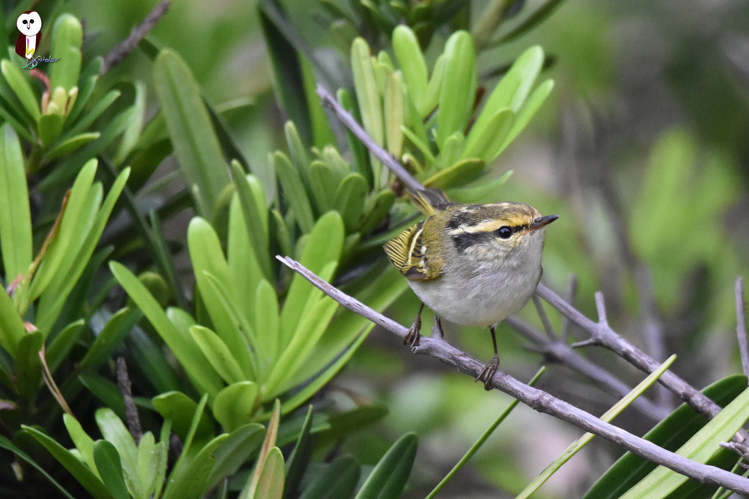 Yellow-browed_Warbler_6343