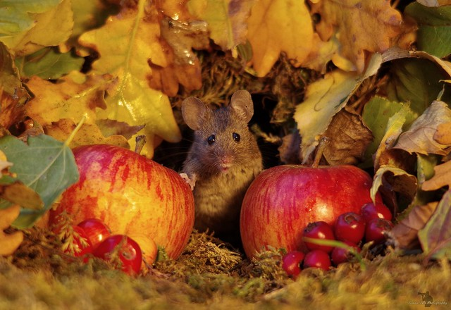Autumn mouse  with apples  (1)