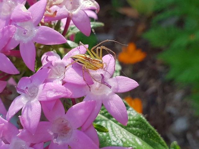 Spider on Egyptian Star Cluster  #egyptian #star #cluster #flower #flowers #petal #petals #pink #purple #spider #garden #plant #flora #straddie #stradbrokeisland #stradbroke #island #tropical #pretty #macro #ig_macro #macrophotography #closeup