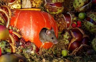 Mouse inside a Autumn pumpkin  (3)