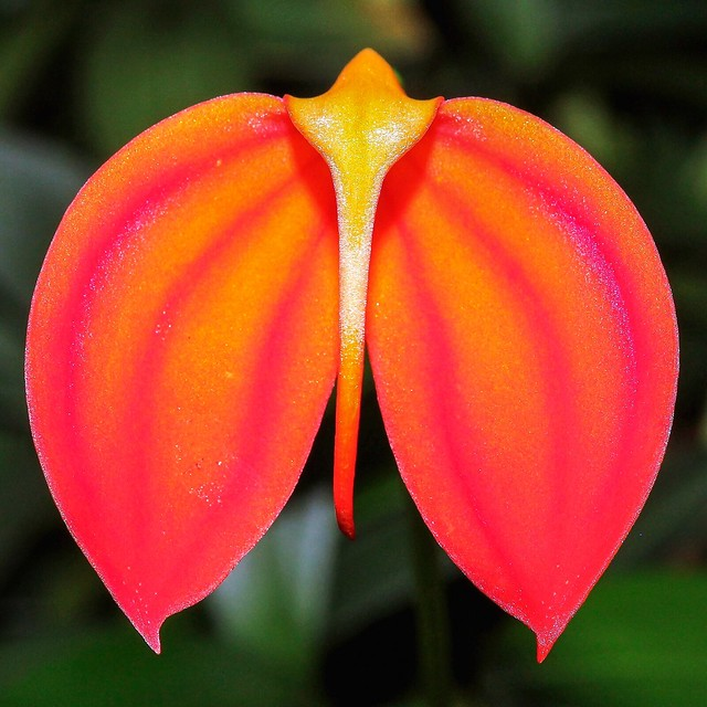 Masdevallia coccinea var. militaris; Orchidaceae (1)