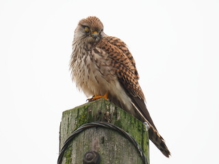 sad eyed lady of the lowlands (kestrel) otmoor 16/10/18 | by walterwarburton