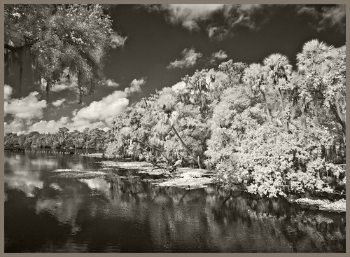 nature natural history florida centralflorida eastcoast stjohnsriver riveroflakes subtropicpeninsula subtropical orangecity volusiacounty bluespringstatepark blackwhite infrared digitalinfrared infraredphotography naturalhistory forest hardwoodhammock