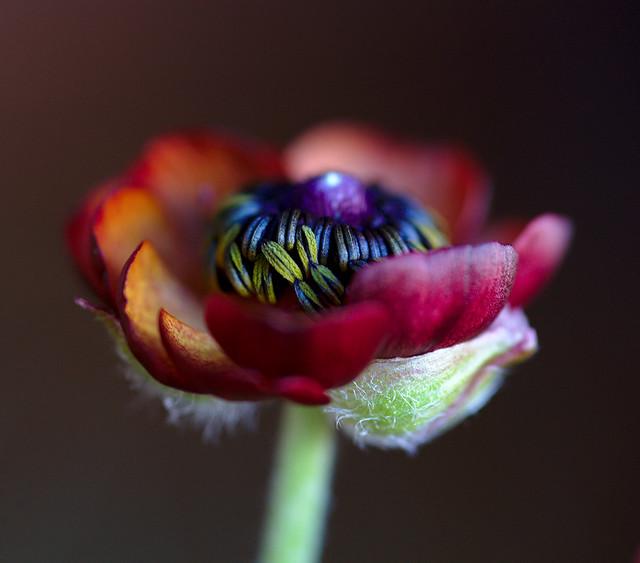 Ranunculus 3