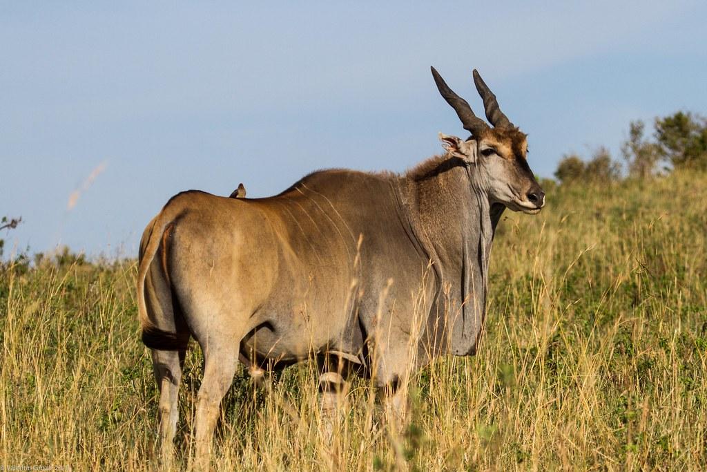 Maasai Mara_13sep18_03_Eland