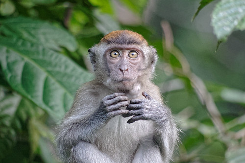 Macaque | by Possum Inc.