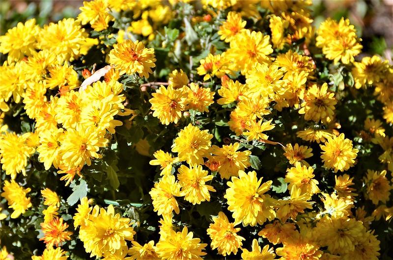 Chrysanthemum 27.09 (3)