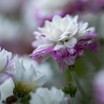 autumn flower - av Pics by Susie J