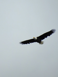 october 2 2018 15:20 - Eagle over Hidden Beach - by stevi kittleson | by boonibarb