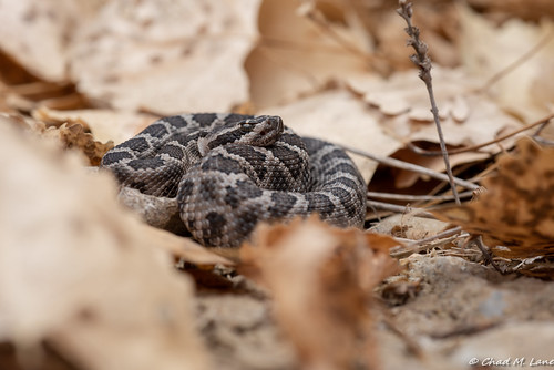 Northern Pacific Rattlesnake (Crotalus oreganus) Explored. | by Chad M. Lane