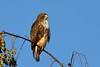 Red-tailed Hawk by brian.bemmels