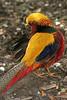 Golden Pheasant (Chrysolophus pictus) by Praktisk