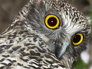 Powerful Owl up close | by aaardvaark