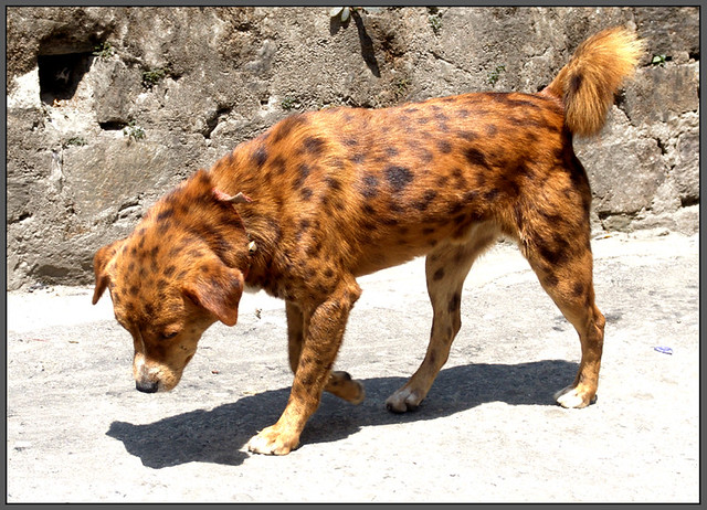 dog from Kalimpong
