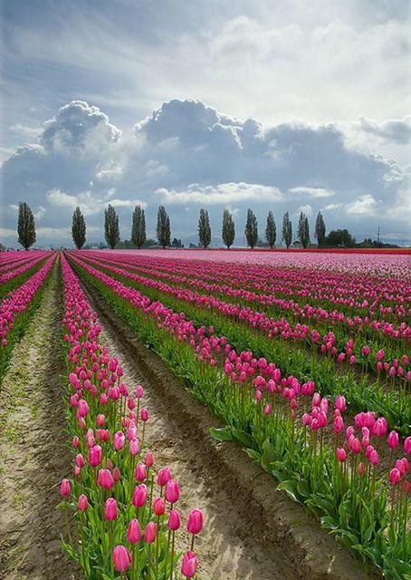 Flowers And Garden Ideas The Netherlands Tulips Beautifu Flickr