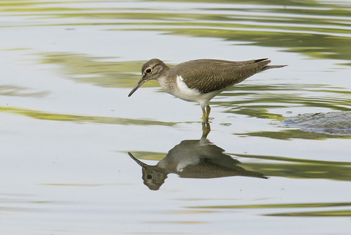Common sandpiper (Actitis hypoleucos), Thottada Backwater, Kerala | by Jim 592