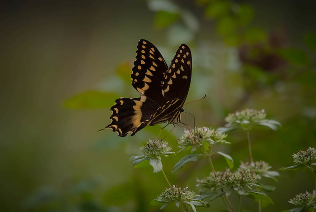 Butterfly in the Brush