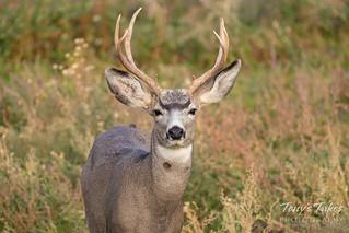 Handsome Mule Deer | by TonysTakes