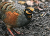 Chestnut-bellied Partridge by Wade Strickland