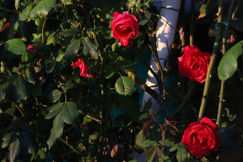roses | by andrew lorien