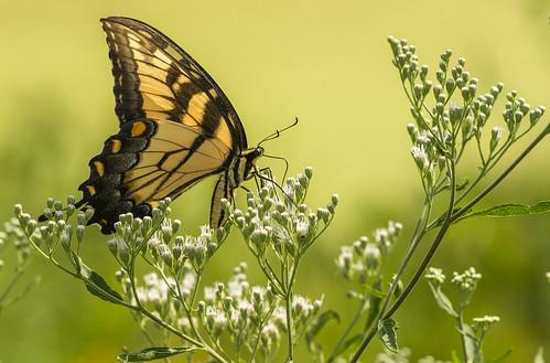 Tiger Swallowtail | by Bernie Kasper (5 million views)