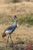 Grey-crowned Crane by DragonSpeed