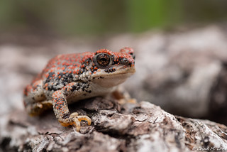 Red-Spotted Toad (Anaxyrus punctatus) Explored. | by Chad M. Lane