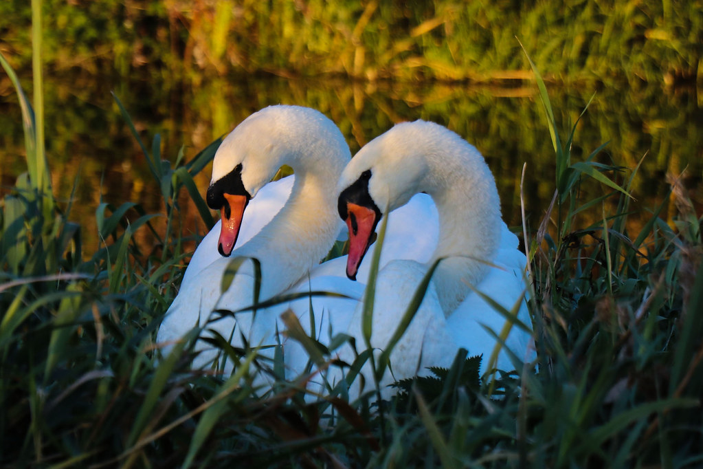 Symmetrical Swans