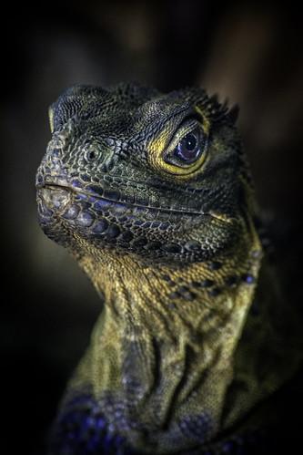 Philppine Sail-Finned Lizard Closeup01   by PACsWorld