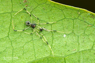 Comb-footed spider (Janula sp.) - DSC_3099