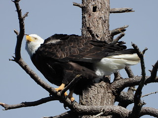october 2 2018 15:27 - Eagle in The Babysitting Tree | by boonibarb