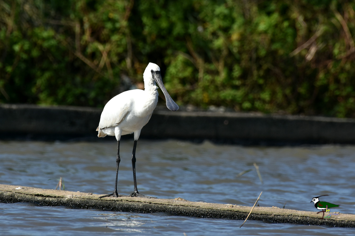Black-faced_Spoonbill_0411