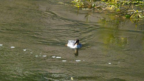 Fishing goosander female, Severn, Bridgnorth