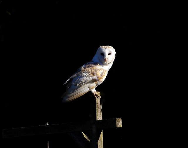 Barn Owl watches.