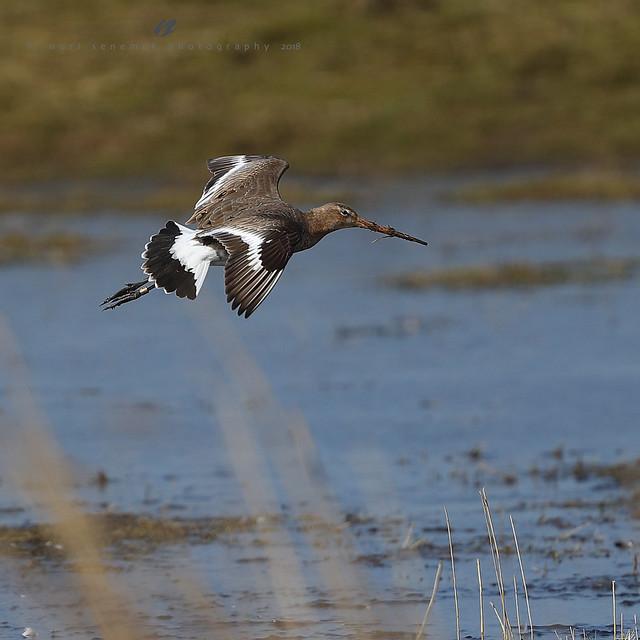 Black-tailed Godwit -Barge à queue noire