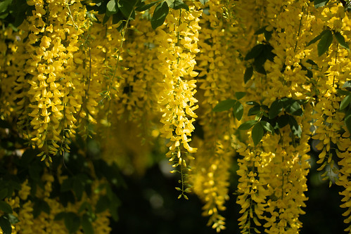 An image of a laburnum tree, taken at Alnwick's Poison Garden. © Icy Sedgwick. This is one of the most toxic trees.