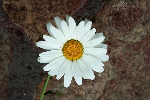 White Flower on Red | by supremreader