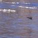 Montichello Mallards landing on the river by angelbrd59@yahoo.com