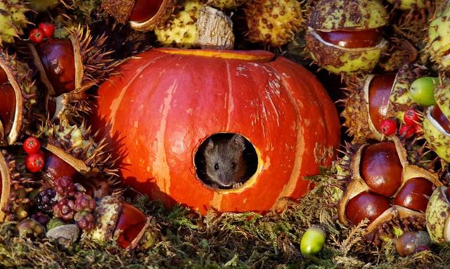 Mouse inside a Autumn pumpkin  (13)